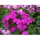 Flox Purple Rain - Phlox Purple Rain, výška 80cm