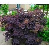 Škumpa vlasatá  ´ROYAL PURPLE´, Cotinus coggygria ´ROYAL PURPLE´, kvetináč 1,5l
