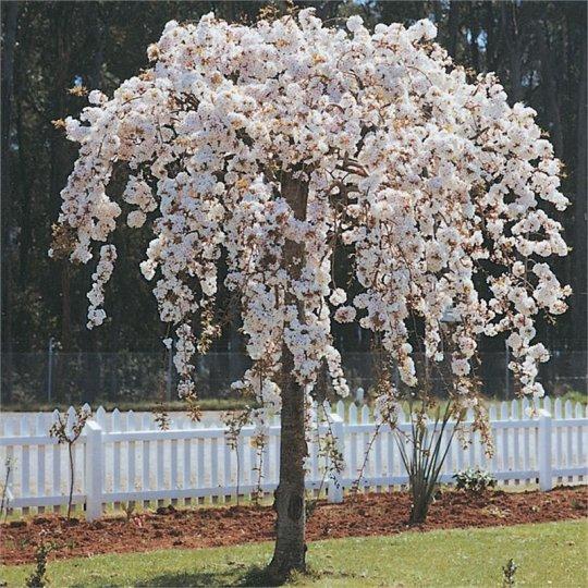 Višňa chĺpkatá previsnutá - Prunus subhirtella 'Pendula'