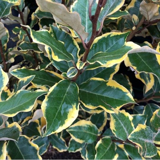 Hlošina ebbingeova (ruská oliva), Elaeagnus (Eleagnus) ebbingei , kont. 5l