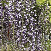 Vistéria kvetnatá, 120-150cm, kont. 18l, na kmienku