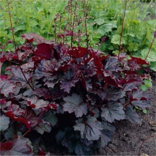 Heuchera´Dew Drops´, Heucherella´Dew Drops´.kont.K9