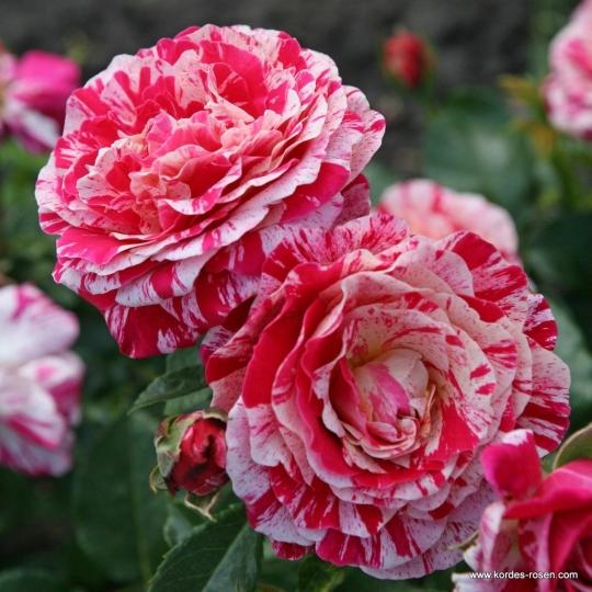 Abracadabra ® ruža mnohokvetá na kmeni, KORDES, kont. 7l