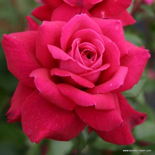Ruža veľkokvetá 'BELLEVUE' na kmeni, KORDES