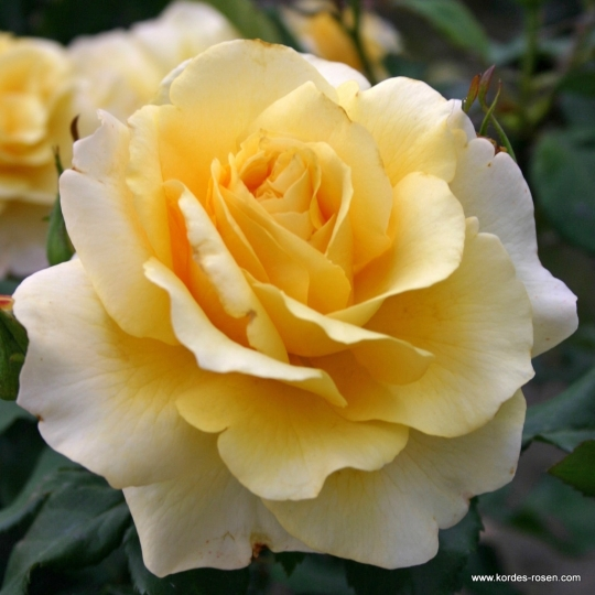 Ruža veľkokvetá 'SUNNY SKY', na kmeni
