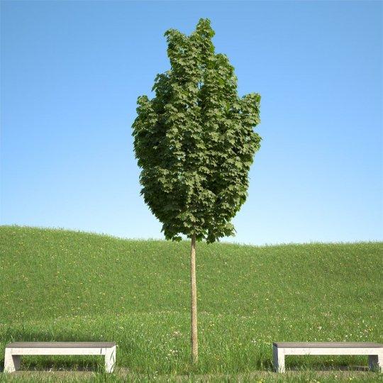 Javor mliečný Columnare (Acer Platanoides), kontajner 20l, obvod kmeňa 8-10cm, 200-300cm