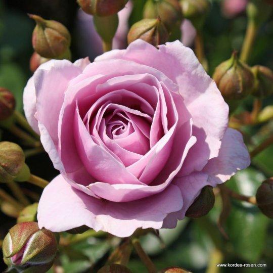 Ruža mnohokvetá 'NAUTICA', na kmeni, kont. 7,5