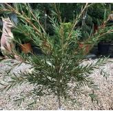 Callistemon laevis (tyčinkovec austrálsky), kont. 2l