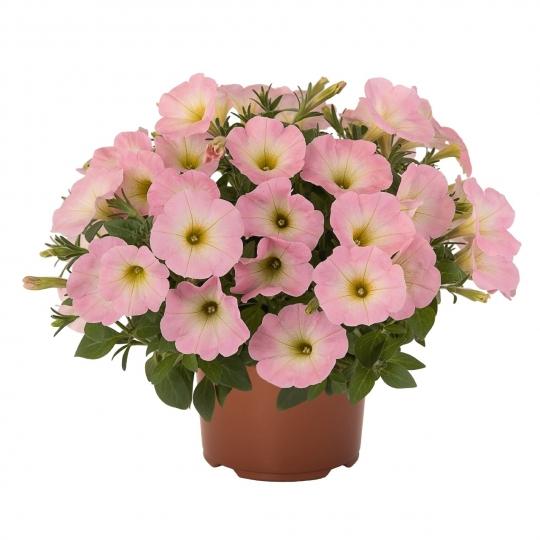 Petúnia Sweetunia 'BABY PINK'