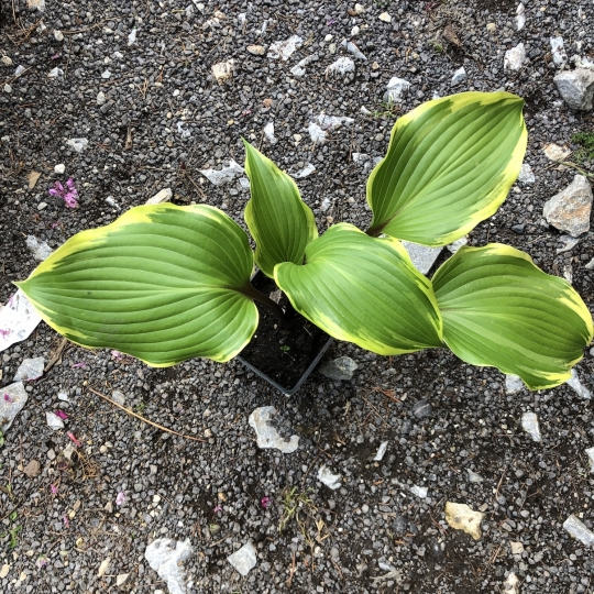 Hosta 'SECRET TREASURE', kont. 1l
