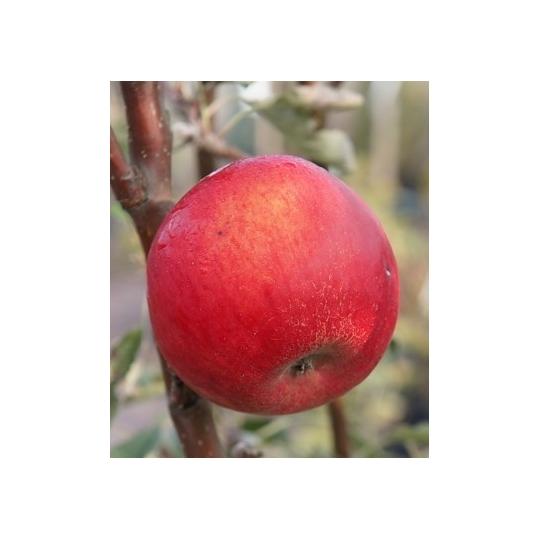 Jabloň IDARED, zimná, 120-160cm, kont. 9l