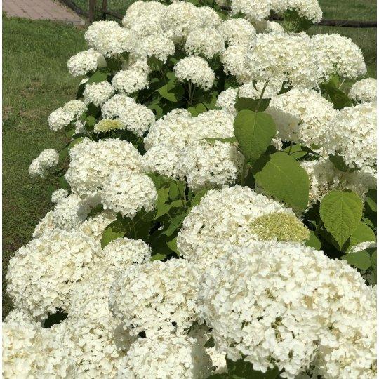 Hortenzia stromčekovitá ´Annabelle´, kont. 1l