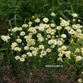 "Anthemis x hybrida ""E. C. Buxton"" - 40-50cm"