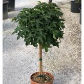 """Ambrovník styraciflua """"Gum Ball"""", 120cm, veľkosť kvetináča 26l"""