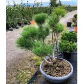 Borovica hustokvetá 'UMBRACULIFERA' bonsai, 130cm