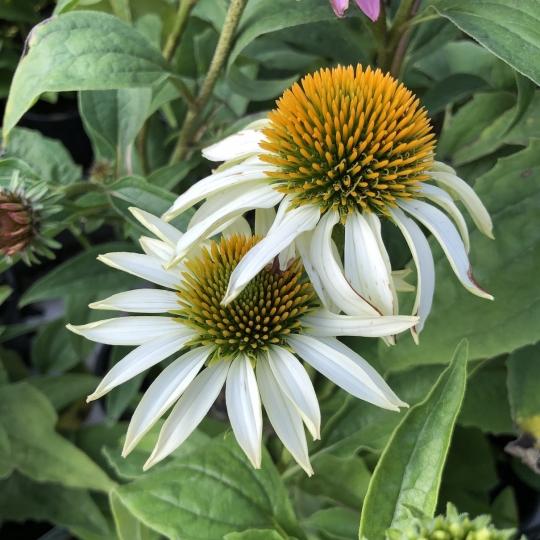 Echinacea 'PRIMADONNA WHITE', kont.1l