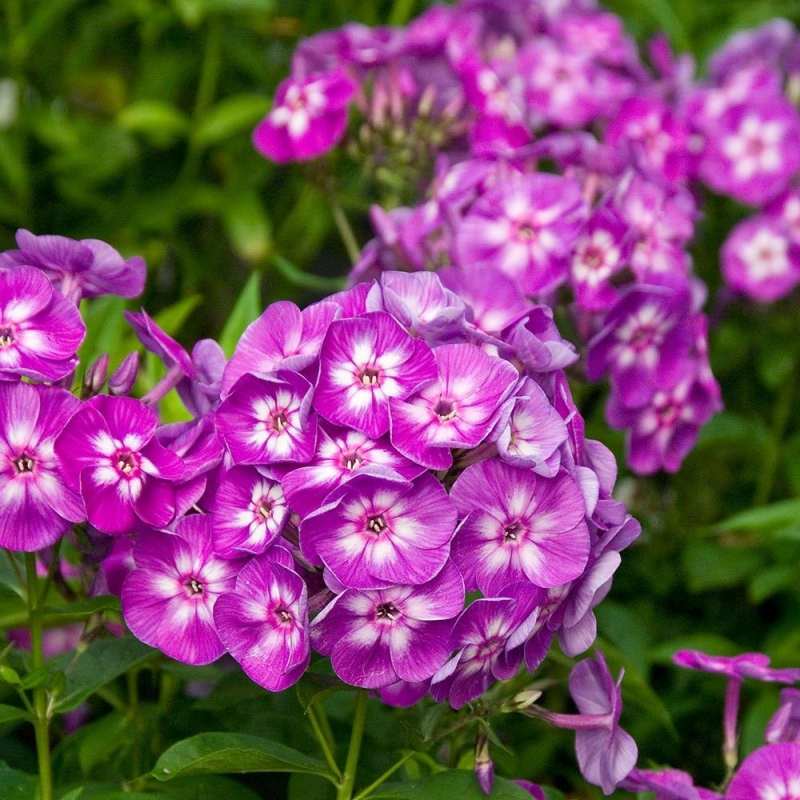 Veronica longifolia ´First Love´,kont.1l