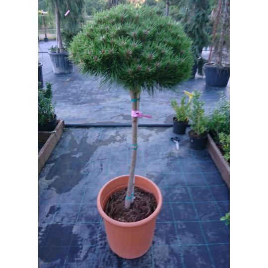 Borovica čierna ´BREPO´, Pinus nigra ´Brepo´, kontajner 15l, NA KMIENKU
