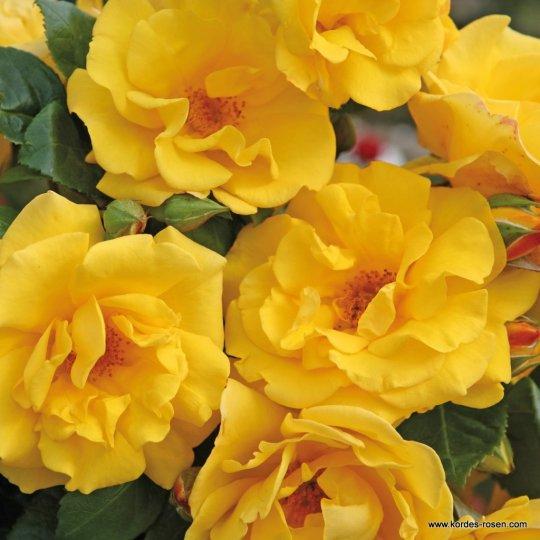 Ruža 'SUNSHINE®' mnohokvetá, KORDES, kont. 2l