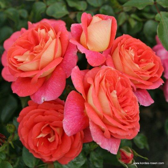 SOMMERSONNE ®, ruža mnohokvetá, kont. 2l