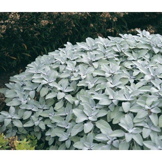 Šalvia lekárska ´BERGGARTEN´, (Salvia officinalis BERGGARTEN), kont. K9
