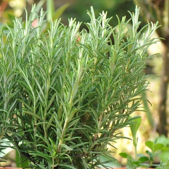 Rozmarín lekársky, (Rosmarinus officinalis), kont. K9