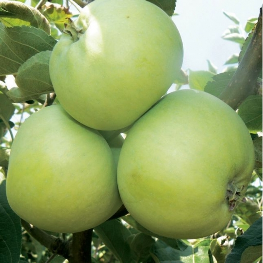 Priesvitné letné - jabloň, voľnokorenné