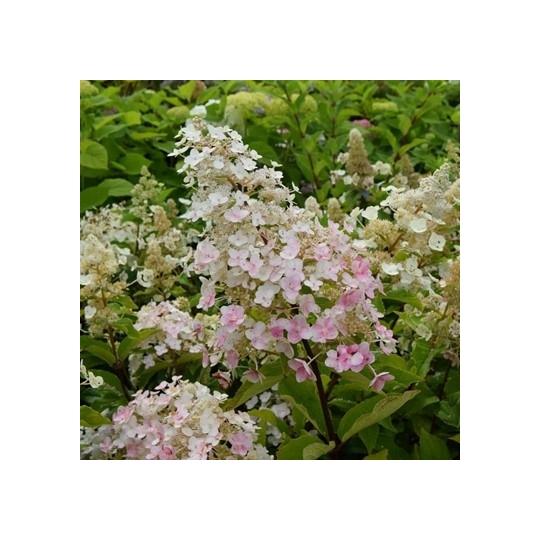 Hortenzia metlinatá´ PINK DIAMOND´ kvetináč 1,4L