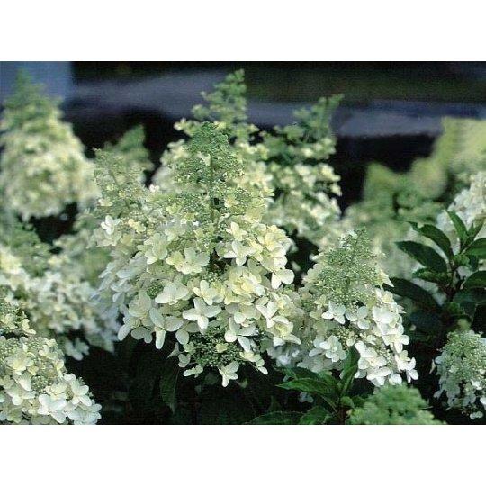 Hortenzia metlinatá´MAGICAL HIMALAYA´ kvetináč 2l