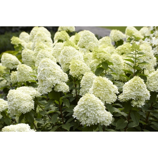 Hortenzia kalinolistá 'LIMELIGHT'  kvetináč 7,5L