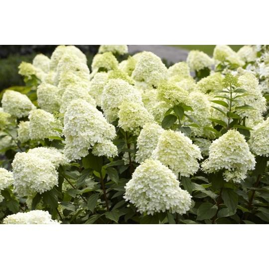 Hortenzia veľkolistá 'LIMELIGHT',  kvetináč 7,5L