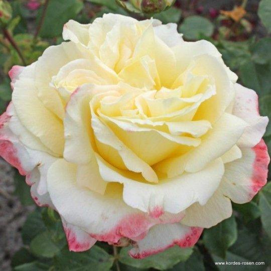 ATHENA - ruža veľkokvetá, KORDES, kont. 2l