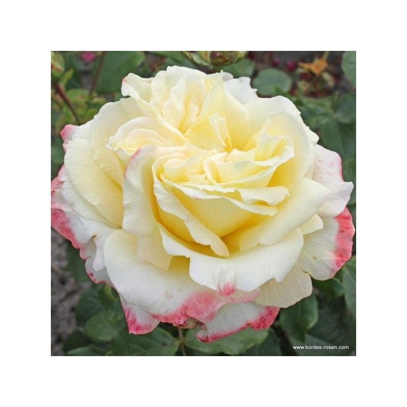 Athena - ruža veľkokvetá, čajohybrid KORDES