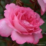 Eliza - ruža veľkokvetá,čajohybrid