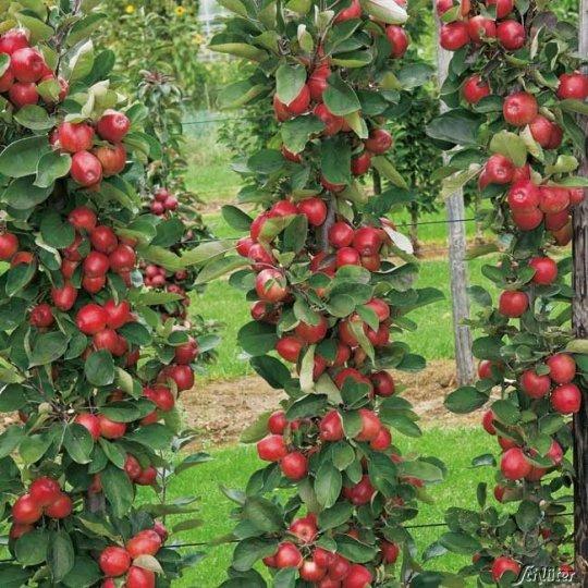 Jabloň REDCATS, jesenná stĺpovitá 50cm