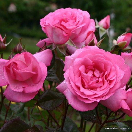 Ruža veľkokvetá ´ELIZA´®, Kordes, kont. 2l