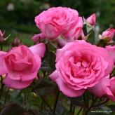 Eliza - ruža veľkokvetá, čajohybrid KORDES