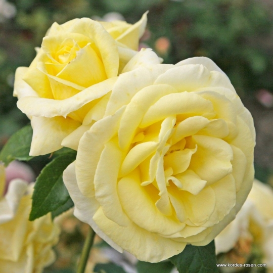 LIMONA, ruža veľkokvetá, KORDES, kont. 2l