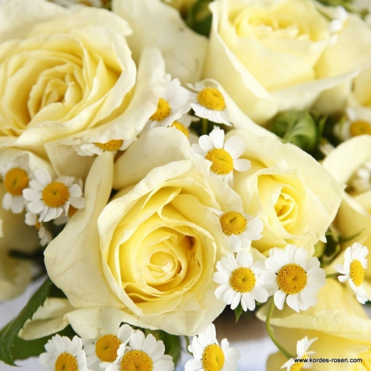 LIMONA, ruža veľkokvetá, KORDES