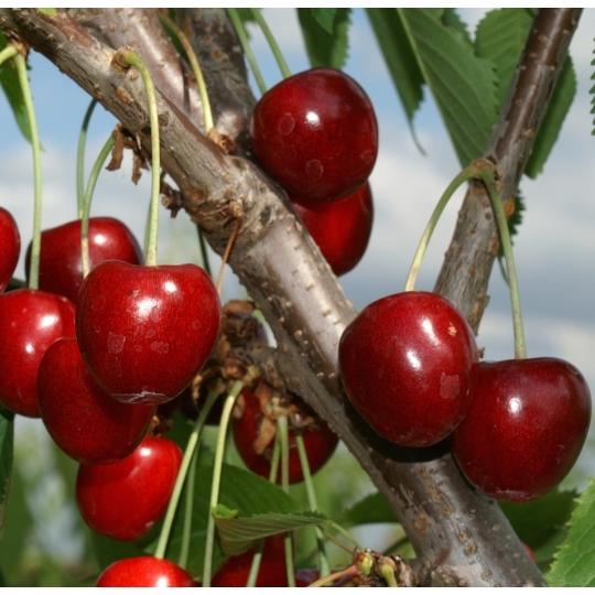 Čerešňa 'TAMARA', stredne skorá, voľný koreň