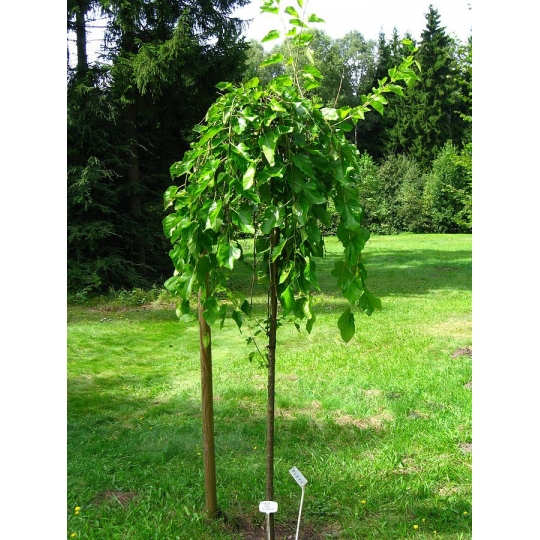 Moruša čierna previsnutá, 200cm, voľný koreň