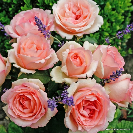 Ruža veľkokvetá 'SOUVENIR DE BADEN-BADEN', Kordes, kont. 2l