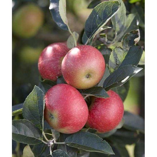 Jabloň stĺpovitá 'RED SPRING', stĺpovitá, voľný koreň