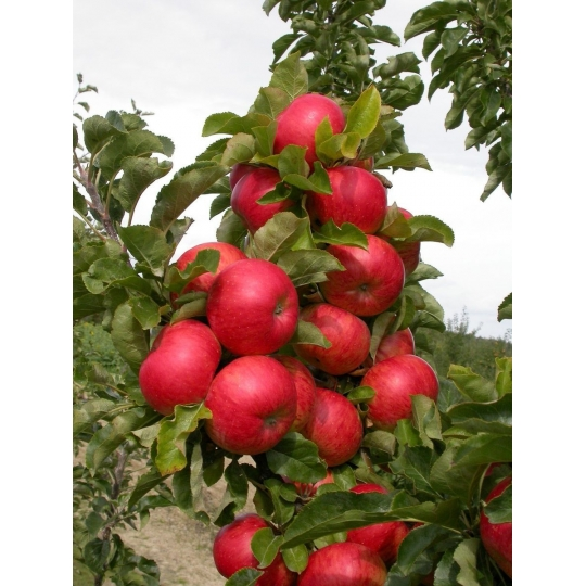 Jabloň 'SONATE', stĺpová, jesenná, voľný koreň