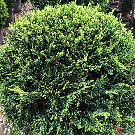 Cyprusovec leylandský, Cupressocyparis leylandii, kont.5l  na kmienku mini
