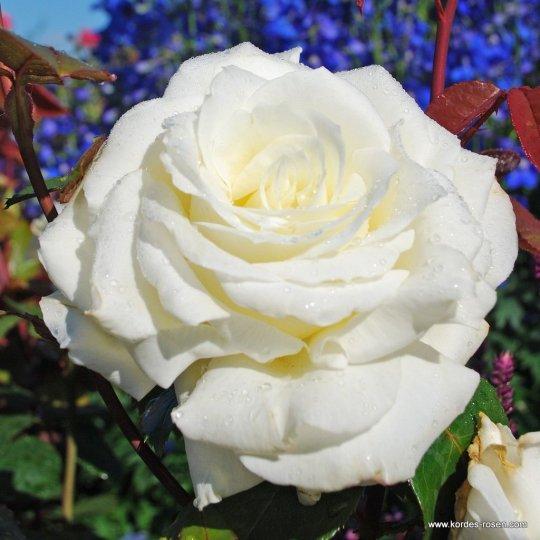 Memoire - ruža veľkokvetá,čajohybrid