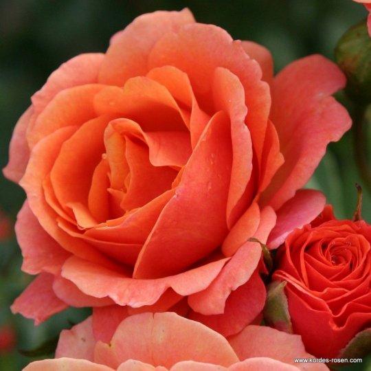 Lambada - ruža kríková KORDES