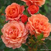 Lambada - ruža kríková