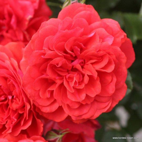 UETERSENS ROSENKÖNIGIN - ruža kríková, KORDES