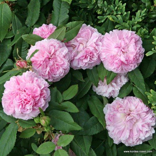 Jacques Cartier-ruža kríková KORDES